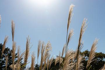 Scenery of Japanese silver grass in autumn, Ibaraki Prefecture, Japan