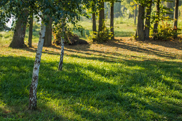 soft focus birch trees meadow in morning sunny fresh weather time