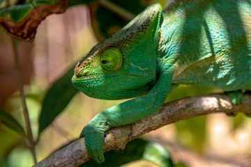 A chameleon species that is endemic to wild nature Madagascar