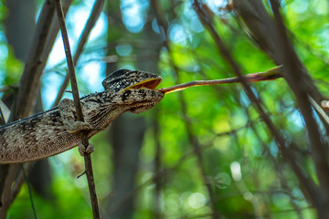 Chameleon hunts insects in the wild nature of Madagascar