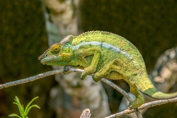 Foto op Aluminium Kameleon A chameleon species that is endemic to wild nature Madagascar
