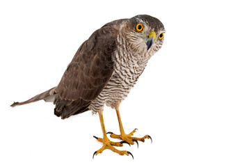 Birds of prey - Eurasian Sparrowhawk (Accipiter nisus) female. Isolated on white Wall mural