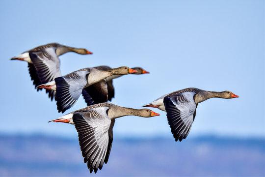Greylag goose squadron