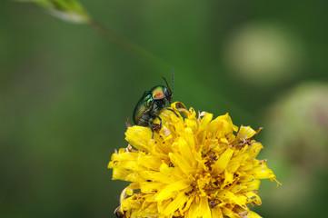 scarabée sur un pissenlit
