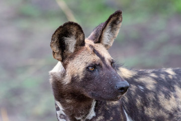 African wild dog, Lycan pictus, portrait