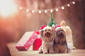 Two cute Christmas dogs with santa hats. Sitting in front of parcels & christmas tree