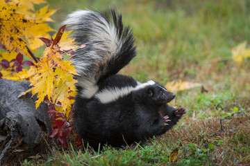Wall Mural - Striped Skunk (Mephitis mephitis) Stomps Feet to Right Tail Up