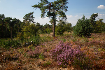 Landscape of Maasduinen National Park with heather and Scots pines, Limburg, Netherlands