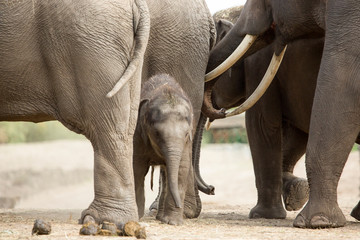 Foto auf Acrylglas Elefant Baby Aziatische olifant tussen de grote