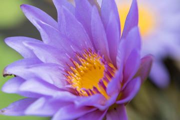 蓮・スイレン・花・紫・黄色