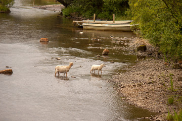 Sheep crossing a stream in Snowdonia, North Wales