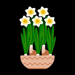 Narcissus bloom in a ceramic pot. Black background.