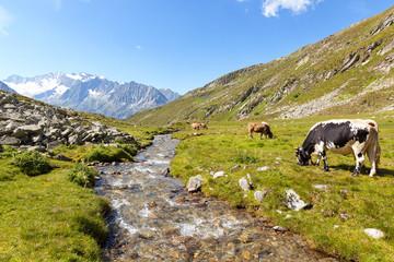 Cows at Lapen Kar valley with Hochfeiler gruop on the background, Tyrol, Schwaz district, Austria.