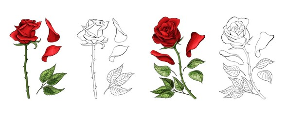 Roses hand drawing and colored. A blossoming rosebud. Vector illustration.