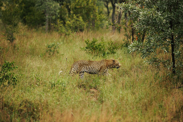 A male Cheetah walking through Grass in the Savannah of Kruger National Park in South Africa