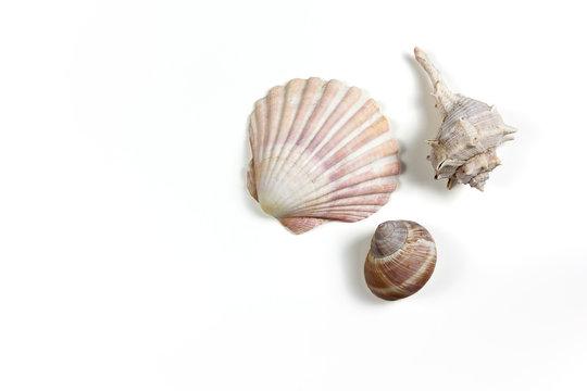 Three Seashells on a Green Background
