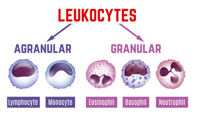 Leukocytes scheme image