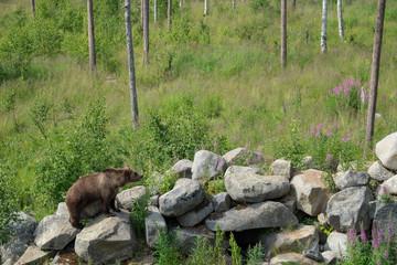 Bear in Finnish zoo