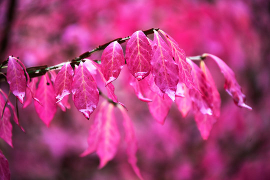 pinkes Herbstlaub