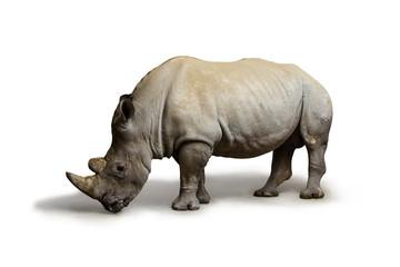 White rhinoceros (square-lipped rhinoceros) inhabiting  South Africa on white background, rhino in wildlife