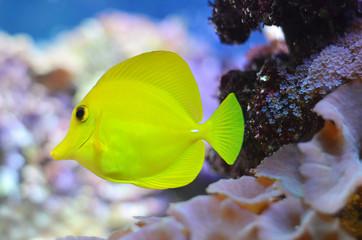 Жёлтая рыба плывёт под водой.