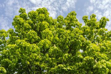 chestnut green foliage