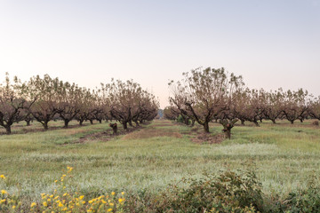 Pecan trees on clear morning