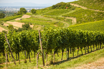 Landscape view to vineyards in rural southern Germany at sunny day