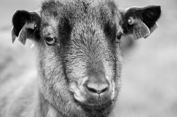 Close-up goat