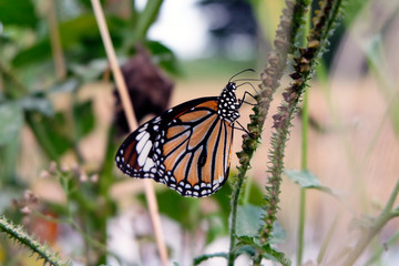 Black veined brown butterfly, Animals, Danaus, Danaus plexippus, Indian Monarch butterfly, milkweed, Monarch, Nature, Nature and Wildlife,