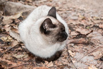 Siamese cat of large size on an autumn background for design