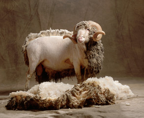 wool sheep