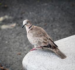 Taube sitzt auf Stein