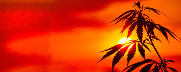 Panorama of marijuana with blurred background at sunset. Silhouette of cannabis against the sky. Growing hemp. Copy space