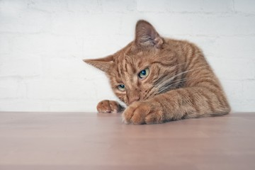 Naughty ginger cat  showing paws on wooden table.