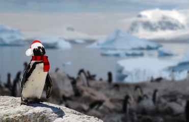 winter concept a funny penguin wearing a santa claus hat and scarf with his penguin family on the background
