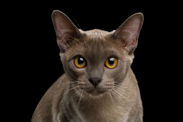 Portrait of Gray Burma Cat Stare in Camera isolated on black background, front view