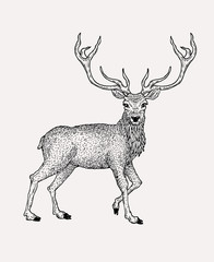 Hand drawn vintage deer illustration. Animal drawing . Etching style.