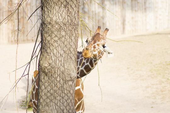 Giraffe (Latin Giraffa camelopardalis) is smiling