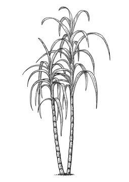 Sugar cane illustration, drawing, engraving, ink, line art, vector