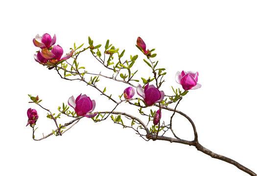 Magenta Magnolia Flowers