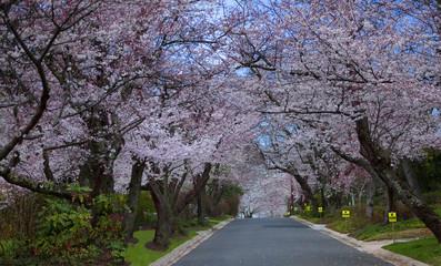 Cherry Tree Rows