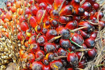 Frutos maduros de palma africana