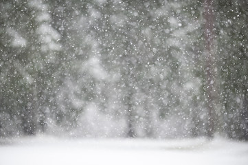 Snowfall in winter with defocused forest background