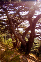 Cedar forest in Lebanon. The mountains of Lebanon are covered with thick cedar forests. Cedar is the symbol of Lebanon