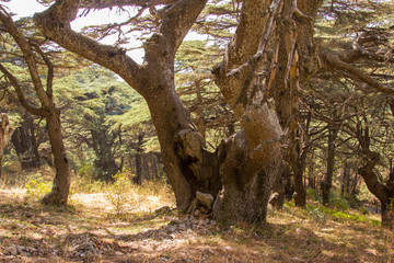Cedar forest in Lebanon. Old Lebanon Cedar. The Cedars of Lebanon.