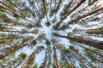 trees in a pine forest