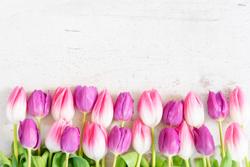 Pink and violet tulip flowers row on gray background with copy space