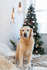 Golden retriever puppy dog on pastel light knitted coat near Christmas tree with decoration, balls, lights and presents in boxes. Pets friendly  scandinavian style hotel or home room.