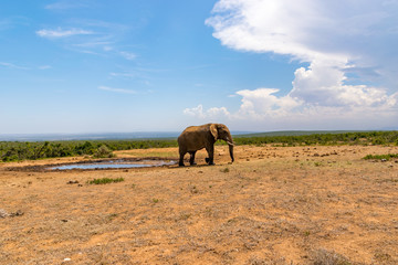 Elephant in the Addo Elephant National Park